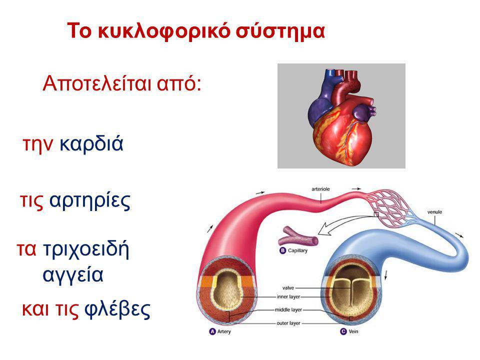 Το κυκλοφορικό σύστημα Αποτελείται από: την καρδιά τις αρτηρίες τα τριχοειδή αγγεία και τις φλέβες