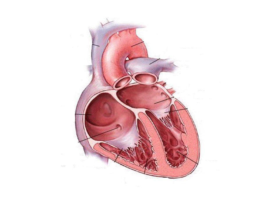 Η καρδιά Χωρίζεται σε δύο μέρη: το αριστερό και το δεξιό Κάθε μέρος περιέχει έναν άνω θάλαμο που λέγεται κόλπος Ο κόλπος που βρίσκεται στη δεξιά πλευρά της καρδιάς ονομάζεται δεξιός κόλπος ενώ αντίστοιχα ο κόλπος που βρίσκεται στην αριστερή πλευρά της καρδιάς ονομάζεται αριστερός κόλπος.