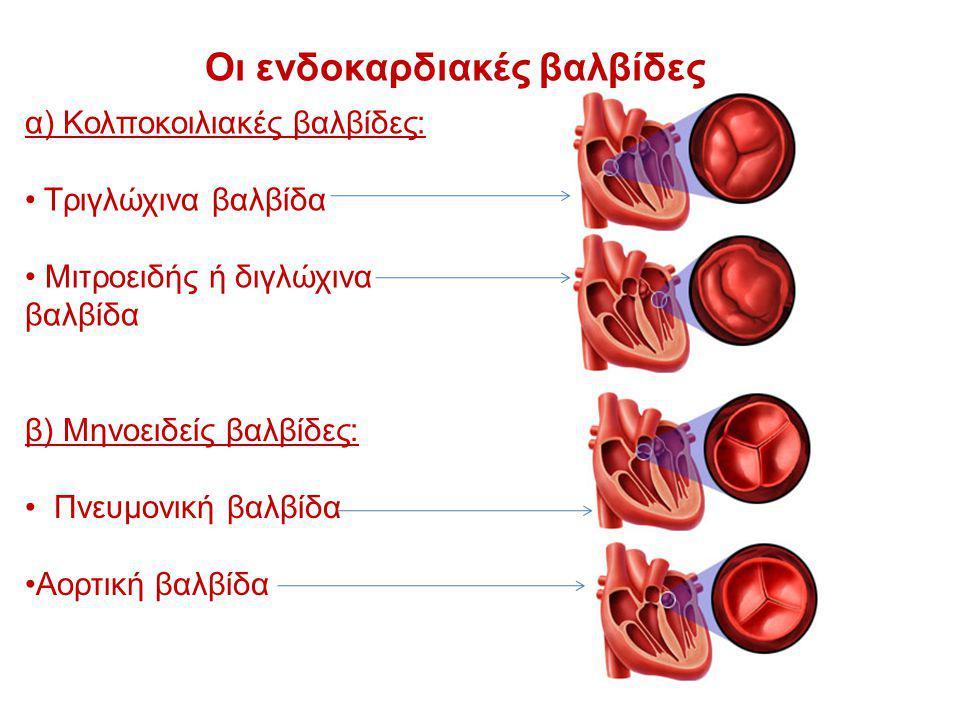 Οι ενδοκαρδιακές βαλβίδες α) Κολποκοιλιακές βαλβίδες: Τριγλώχινα βαλβίδα Μιτροειδής ή διγλώχινα βαλβίδα β) Μηνοειδείς βαλβίδες: Πνευμονική βαλβίδα Αορ