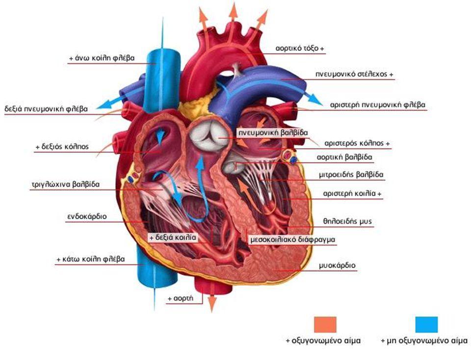 Οι κοιλίες Προωθούν το αίμα έξω από την καρδιά Η δεξιά κοιλία προωθεί το μη οξυγονωμένο αίμα προς την πνευμονική αρτηρία η οποία το κατευθύνει στους πνεύμονες όπου και οξυγονώνεται Η αριστερή κοιλία προωθεί το ήδη οξυγονωμένο αίμα στην αορτή μέσω της οποίας κατευθύνεται σε όλο το σώμα