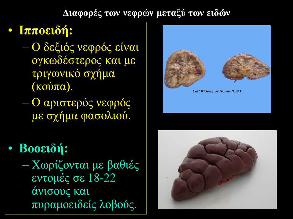 6 Διαφορές των νεφρών μεταξύ των ειδών Ιπποειδή: –Ο δεξιός νεφρός είναι ογκωδέστερος και με τριγωνικό σχήμα (κούπα). –Ο αριστερός νεφρός με σχήμα φασο