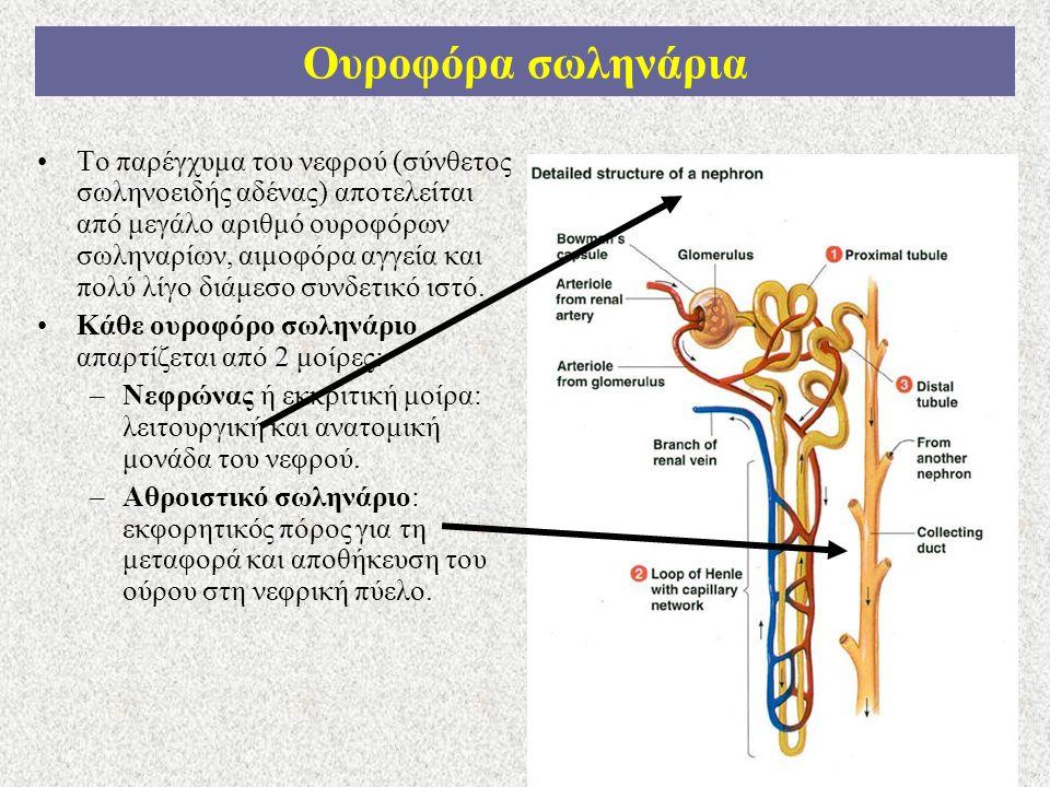 9 Ουροφόρα σωληνάρια Το παρέγχυμα του νεφρού (σύνθετος σωληνοειδής αδένας) αποτελείται από μεγάλο αριθμό ουροφόρων σωληναρίων, αιμοφόρα αγγεία και πολ