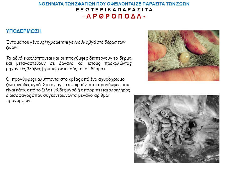 ΥΠΟΔΕΡΜΩΣΗ Έντομα του γένους Hypoderma γεννούν αβγά στο δέρμα των ζώων.