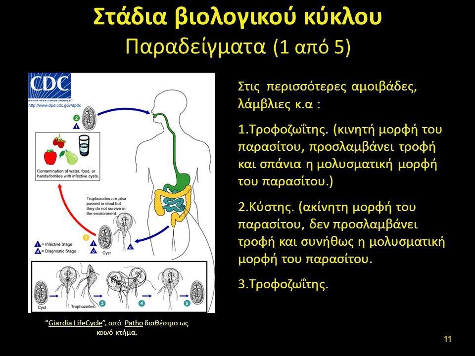 Στάδια βιολογικού κύκλου Παραδείγματα (1 από 5) Στις περισσότερες αμοιβάδες, λάμβλιες κ.α : 1.Τροφοζωΐτης.