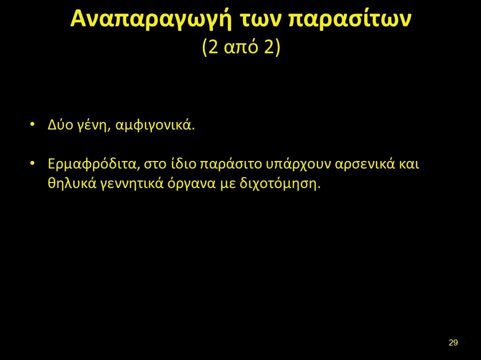 Αναπαραγωγή των παρασίτων (2 από 2) Δύο γένη, αμφιγονικά.