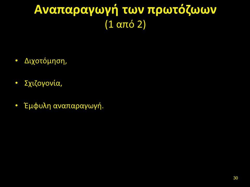 Αναπαραγωγή των πρωτόζωων (1 από 2) Διχοτόμηση, Σχιζογονία, Έμφυλη αναπαραγωγή. 30