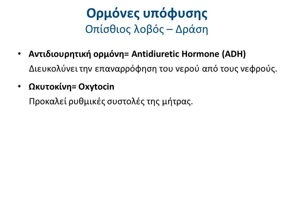 Ορμόνες υπόφυσης Οπίσθιος λοβός – Δράση Αντιδιουρητική ορμόνη= Antidiuretic Hormone (ADH) Διευκολύνει την επαναρρόφηση του νερού από τους νεφρούς. Ωκυ