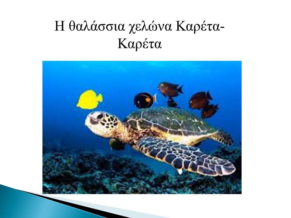 Η θαλάσσια χελώνα Καρέτα- Καρέτα