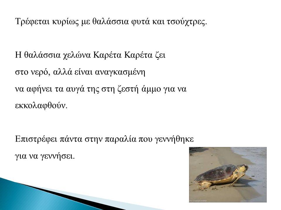 Τρέφεται κυρίως με θαλάσσια φυτά και τσούχτρες. Η θαλάσσια χελώνα Καρέτα Καρέτα ζει στο νερό, αλλά είναι αναγκασμένη να αφήνει τα αυγά της στη ζεστή ά