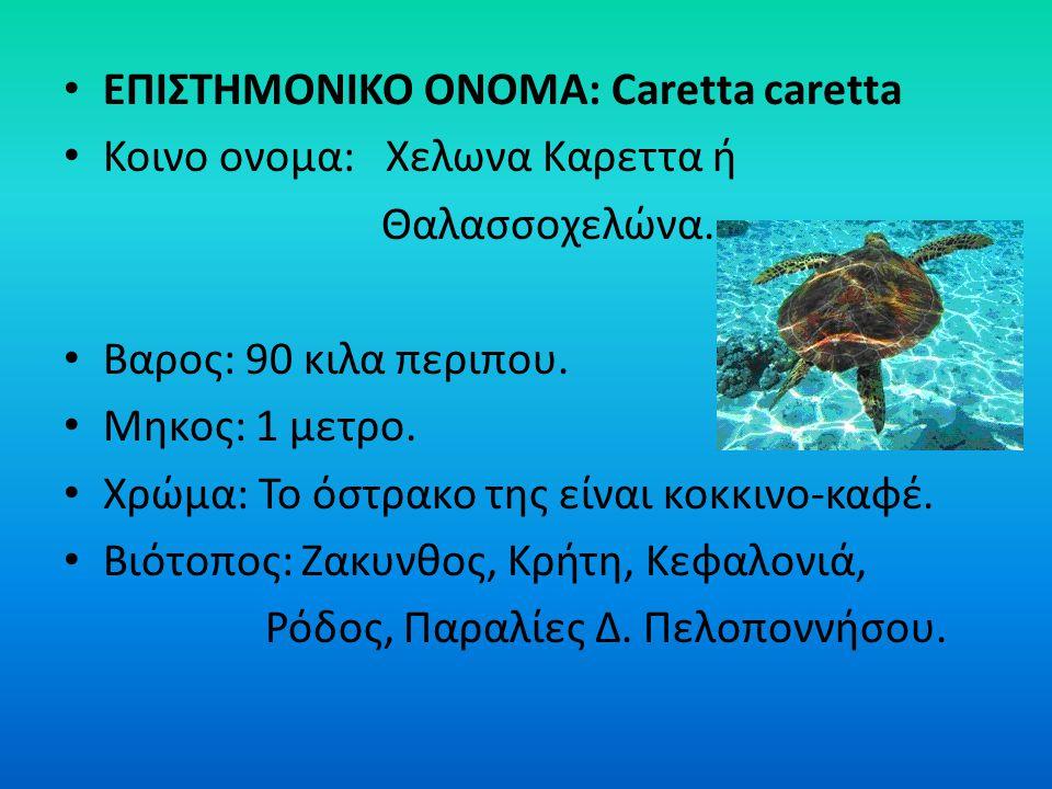 ΕΠΙΣΤΗΜΟΝΙΚΟ ΟΝΟΜΑ: Caretta caretta Κοινο ονομα: Χελωνα Καρεττα ή Θαλασσοχελώνα. Βαρος: 90 κιλα περιπου. Μηκος: 1 μετρο. Χρώμα: Το όστρακο της είναι κ