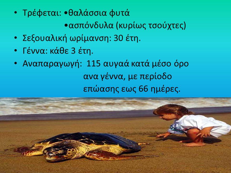 Τρέφεται: θαλάσσια φυτά ασπόνδυλα (κυρίως τσούχτες) Σεξουαλική ωρίμανση: 30 έτη. Γέννα: κάθε 3 έτη. Αναπαραγωγή: 115 αυγαά κατά μέσο όρο ανα γέννα, με