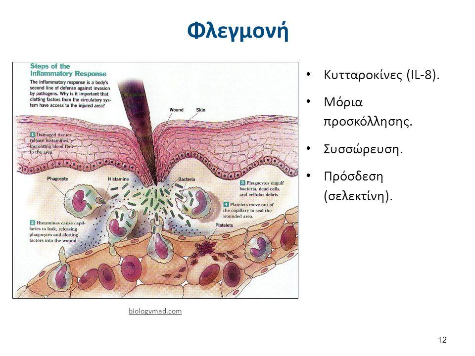 Φλεγμονή Κυτταροκίνες (ΙL-8). Μόρια προσκόλλησης. Συσσώρευση. Πρόσδεση (σελεκτίνη). 12 biologymad.com