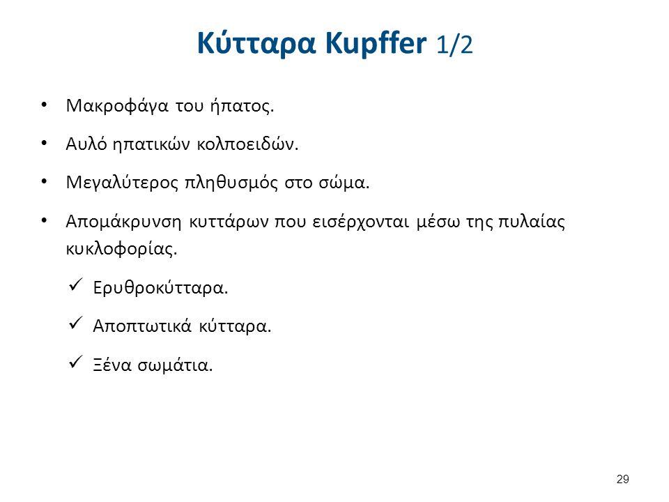 Κύτταρα Kupffer 1/2 Μακροφάγα του ήπατος. Αυλό ηπατικών κολποειδών. Μεγαλύτερος πληθυσμός στο σώμα. Απομάκρυνση κυττάρων που εισέρχονται μέσω της πυλα