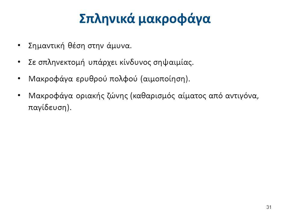 Σπληνικά μακροφάγα Σημαντική θέση στην άμυνα. Σε σπληνεκτομή υπάρχει κίνδυνος σηψαιμίας. Μακροφάγα ερυθρού πολφού (αιμοποίηση). Μακροφάγα οριακής ζώνη