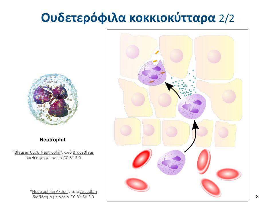 """Ουδετερόφιλα κοκκιοκύτταρα 2/2 """"Blausen 0676 Neutrophil"""", από BruceBlaus διαθέσιμο με άδεια CC BY 3.0Blausen 0676 NeutrophilBruceBlausCC BY 3.0 8 """"Neu"""