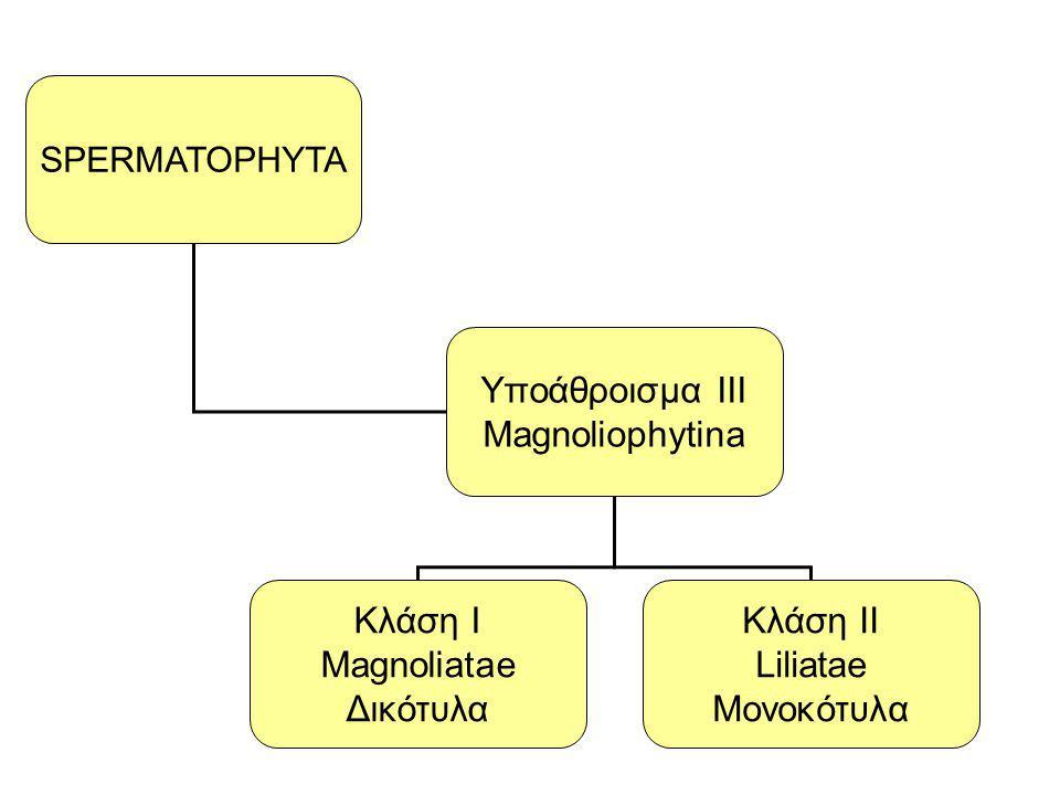 SPERMATOPHYTA Yποάθροισμα III Magnoliophytina Κλάση Ι Magnoliatae Δικότυλα Κλάση ΙΙ Liliatae Μονοκότυλα
