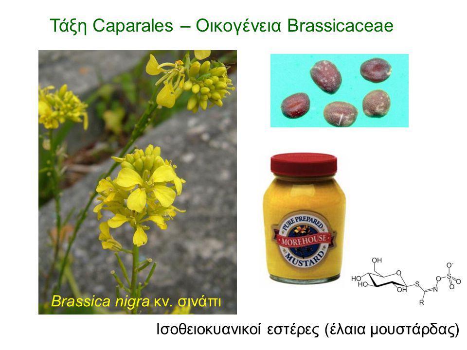 Brassica nigra κν. σινάπι Ισοθειοκυανικοί εστέρες (έλαια μουστάρδας)