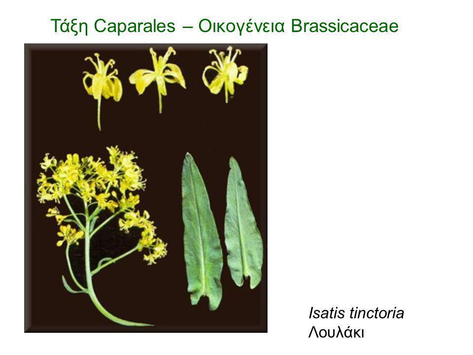 Isatis tinctoria Λουλάκι Τάξη Caparales – Οικογένεια Brassicaceae