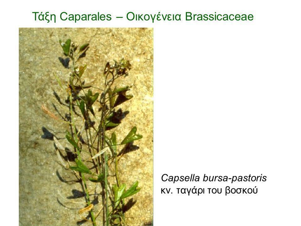 Capsella bursa-pastoris κν. ταγάρι του βοσκού Τάξη Caparales – Οικογένεια Brassicaceae