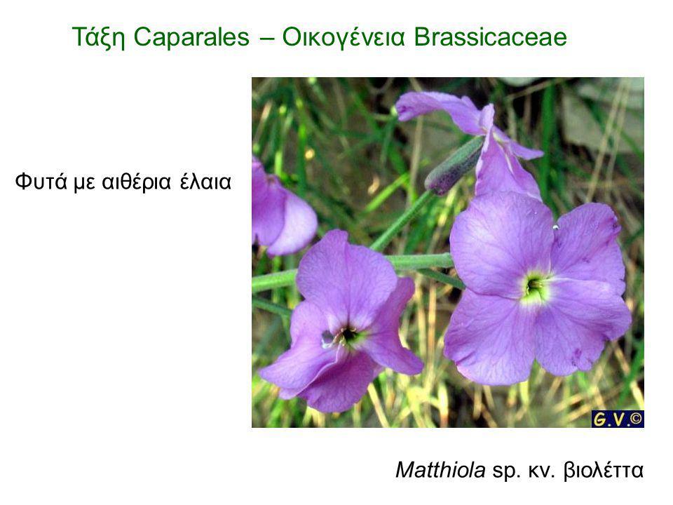 Matthiola sp. κν. βιολέττα Φυτά με αιθέρια έλαια