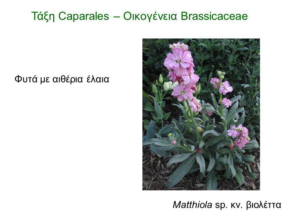 Τάξη Caparales – Οικογένεια Brassicaceae Matthiola sp. κν. βιολέττα Φυτά με αιθέρια έλαια