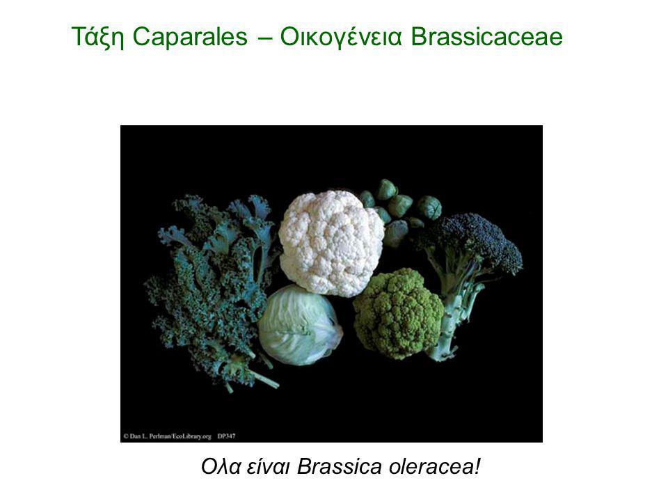 Τάξη Caparales – Οικογένεια Brassicaceae Ολα είναι Brassica oleracea!