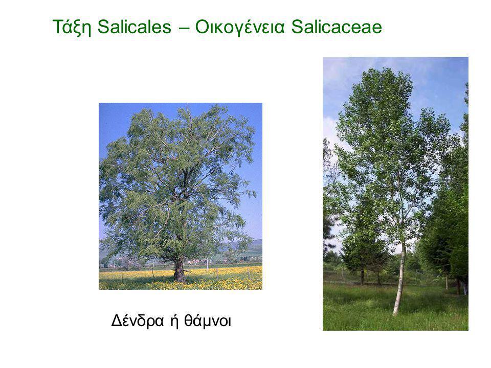 Δένδρα ή θάμνοι Τάξη Salicales – Οικογένεια Salicaceae