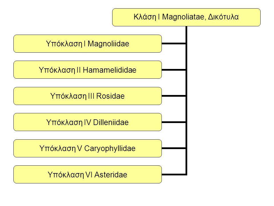 Κλάση Ι Magnoliatae, Δικότυλα Υπόκλαση Ι Magnoliidae Υπόκλαση ΙΙ Hamamelididae Υπόκλαση ΙΙΙ Rosidae Υπόκλαση ΙV Dilleniidae Υπόκλαση V Caryophyllidae