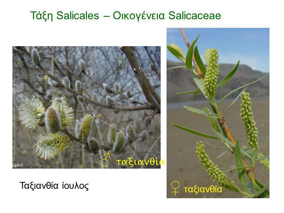 ♂ ταξιανθία ♀ ταξιανθία Ταξιανθία ίουλος Τάξη Salicales – Οικογένεια Salicaceae