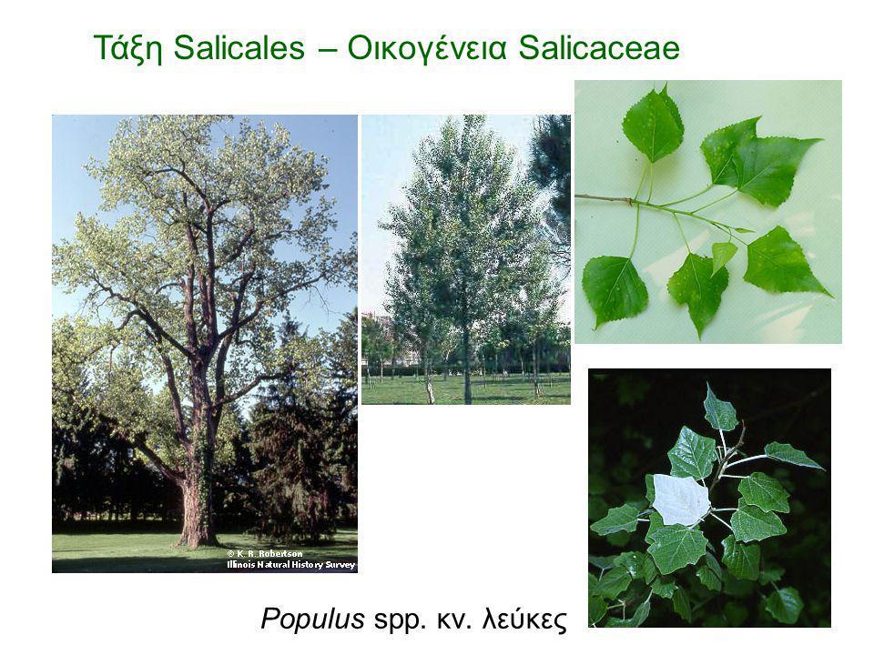 Populus spp. κν. λεύκες Τάξη Salicales – Οικογένεια Salicaceae