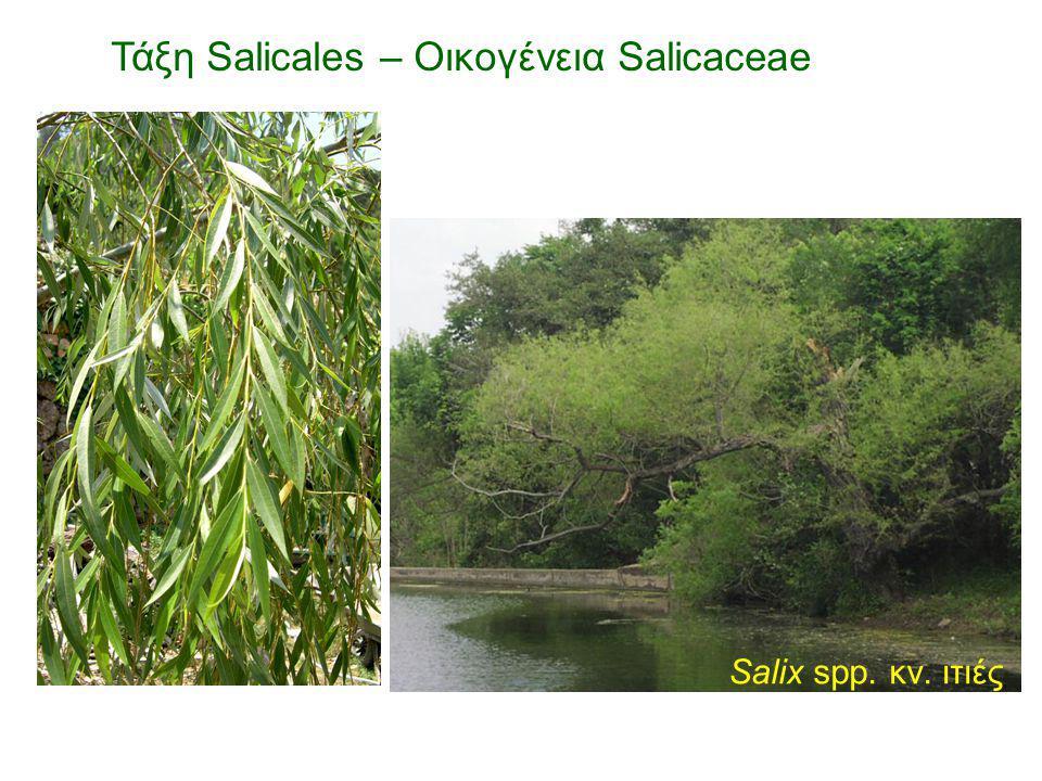 Salix spp. κν. ιτιές
