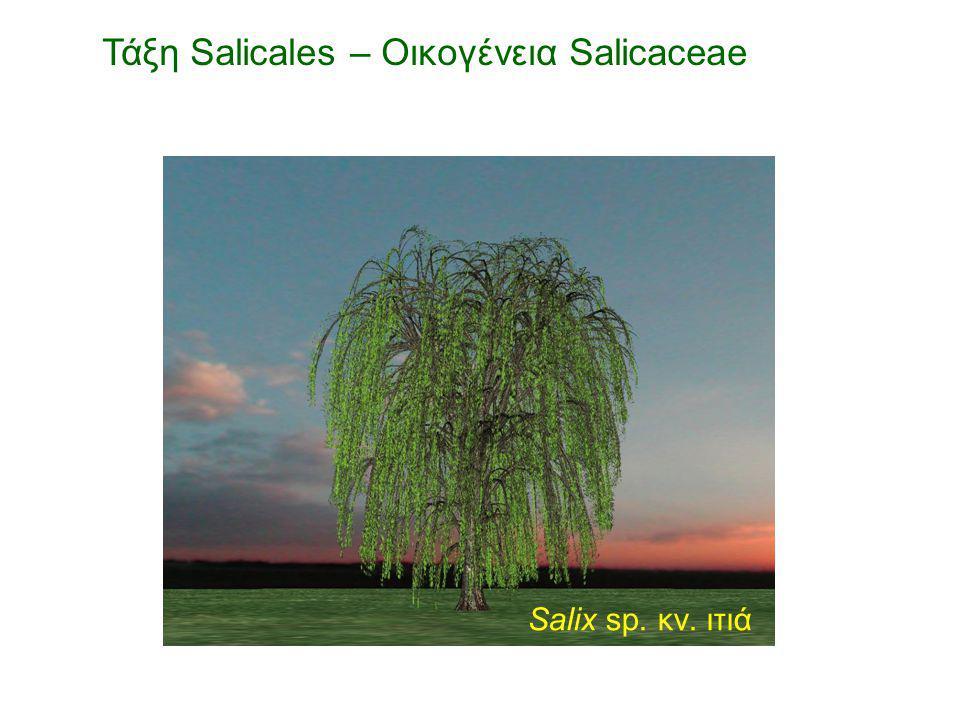 Salix sp. κν. ιτιά Τάξη Salicales – Οικογένεια Salicaceae