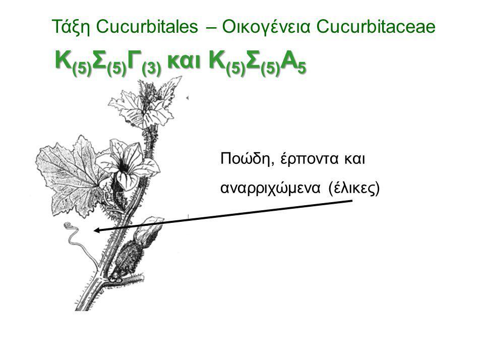 Ποώδη, έρποντα και αναρριχώμενα (έλικες) Τάξη Cucurbitales – Οικογένεια Cucurbitaceae Κ (5) Σ (5) Γ (3) και Κ (5) Σ (5) Α 5