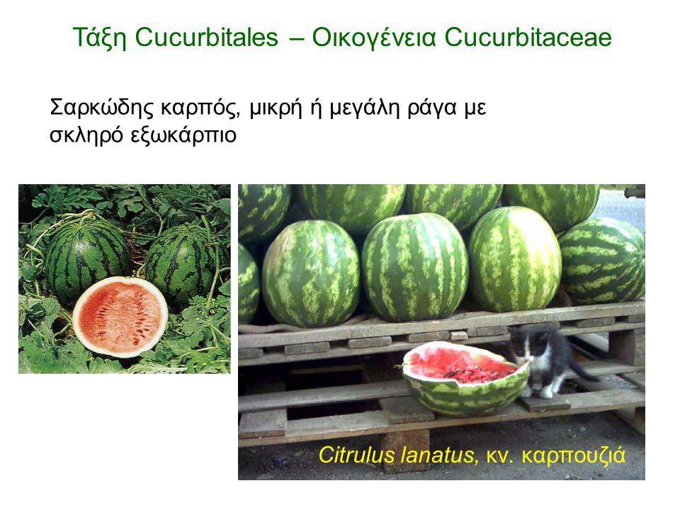 Citrulus lanatus, κν. καρπουζιά Σαρκώδης καρπός, μικρή ή μεγάλη ράγα με σκληρό εξωκάρπιο Τάξη Cucurbitales – Οικογένεια Cucurbitaceae