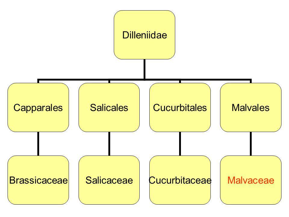 Dilleniidae Capparales Brassicaceae Salicales Salicaceae Cucurbitales Cucurbitaceae Malvales Malvaceae