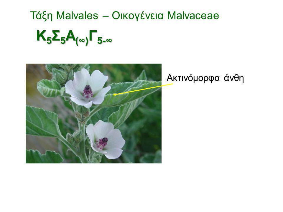 Ακτινόμορφα άνθη Τάξη Malvales – Οικογένεια Malvaceae Κ 5 Σ 5 Α (∞) Γ 5-∞
