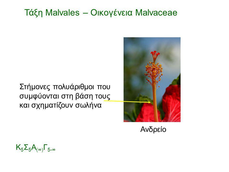 Ανδρείο Στήμονες πολυάριθμοι που συμφύονται στη βάση τους και σχηματίζουν σωλήνα Τάξη Malvales – Οικογένεια Malvaceae Κ 5 Σ 5 Α (∞) Γ 5-∞