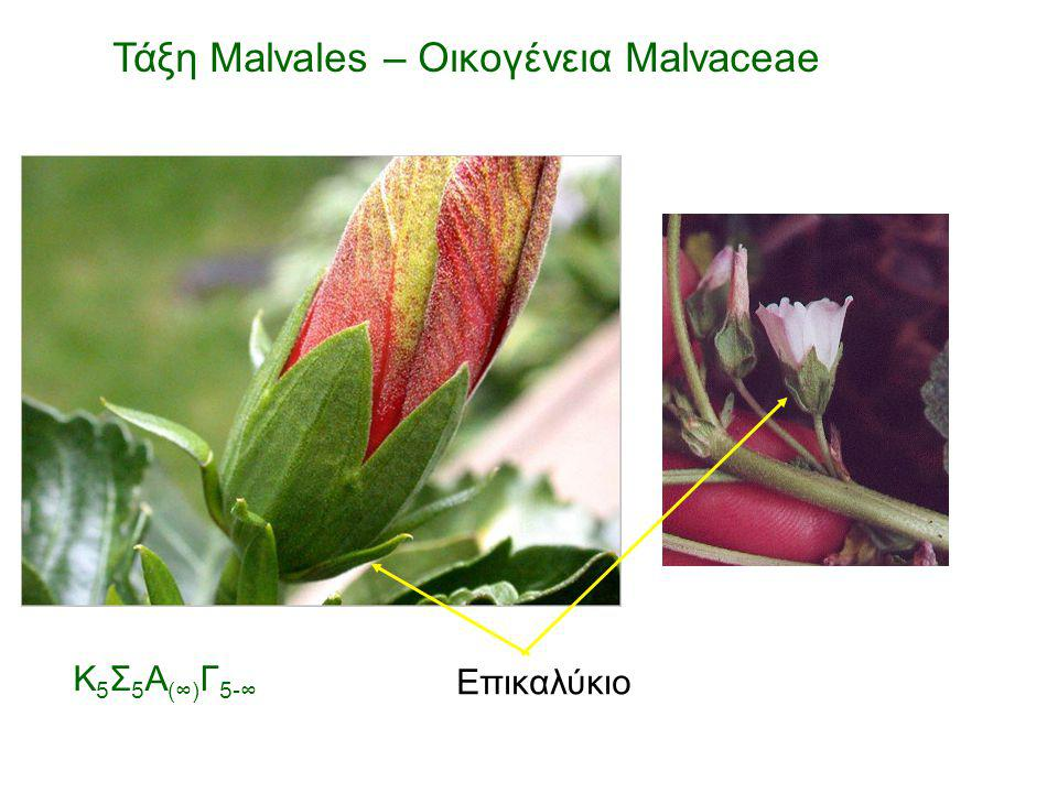 Επικαλύκιο Τάξη Malvales – Οικογένεια Malvaceae Κ 5 Σ 5 Α (∞) Γ 5-∞