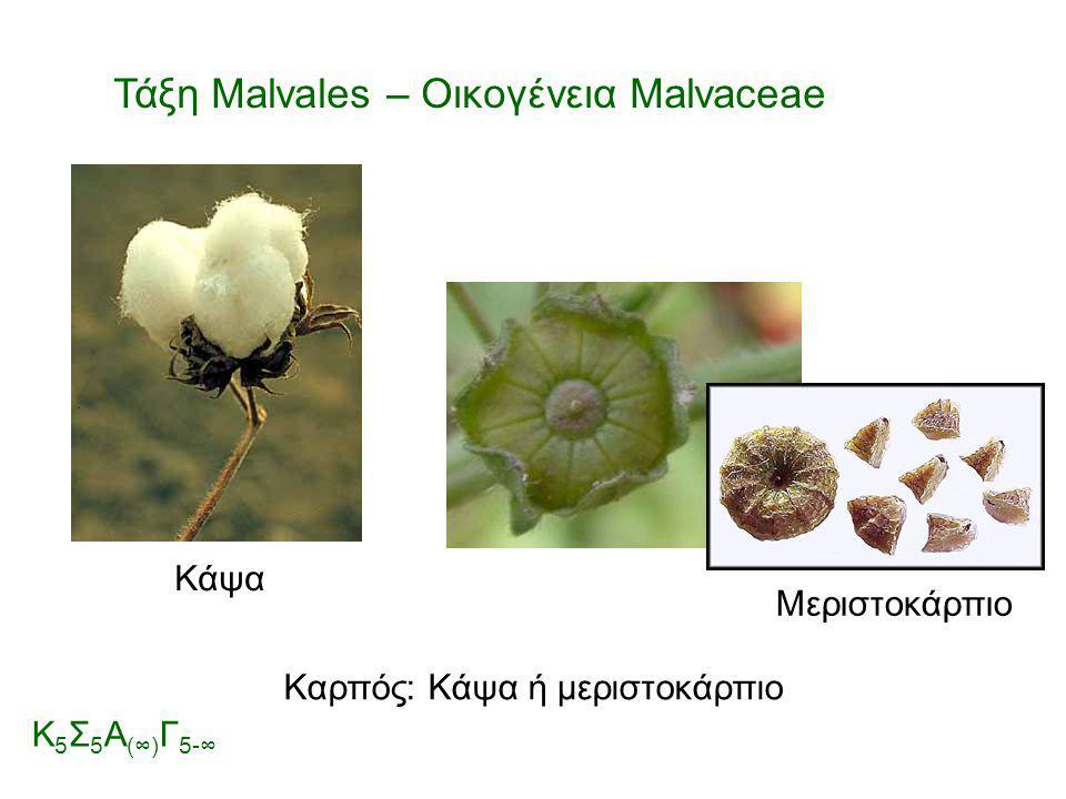 Καρπός: Κάψα ή μεριστοκάρπιο Μεριστοκάρπιο Τάξη Malvales – Οικογένεια Malvaceae Κ 5 Σ 5 Α (∞) Γ 5-∞ Κάψα