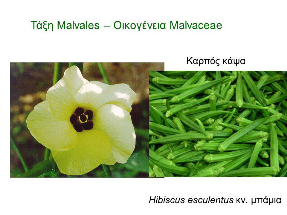 Τάξη Malvales – Οικογένεια Malvaceae Hibiscus esculentus κν. μπάμια