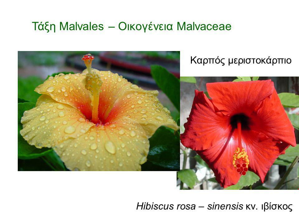 Hibiscus rosa – sinensis κν. ιβίσκος Τάξη Malvales – Οικογένεια Malvaceae Καρπός μεριστοκάρπιο