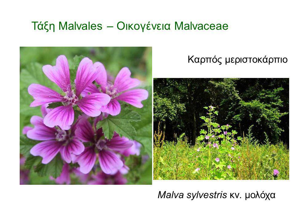Malva sylvestris κν. μολόχα Τάξη Malvales – Οικογένεια Malvaceae Καρπός μεριστοκάρπιο
