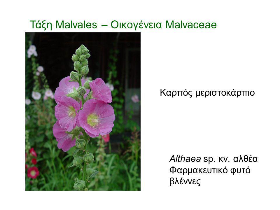 Τάξη Malvales – Οικογένεια Malvaceae Althaea sp. κν. αλθέα Φαρμακευτικό φυτό βλέννες Καρπός μεριστοκάρπιο