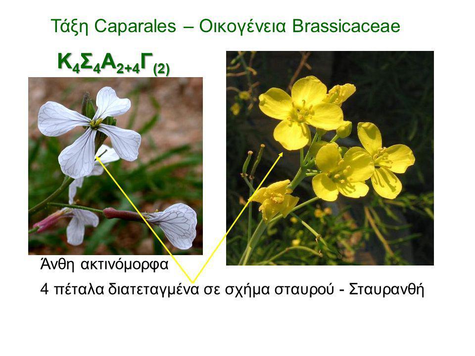 Άνθη ακτινόμορφα 4 πέταλα διατεταγμένα σε σχήμα σταυρού - Σταυρανθή Τάξη Caparales – Οικογένεια Brassicaceae Κ 4 Σ 4 Α 2+4 Γ (2)