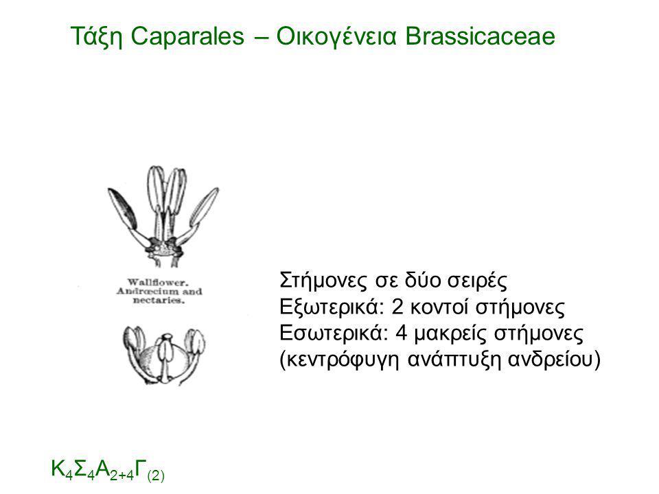 Στήμονες σε δύο σειρές Εξωτερικά: 2 κοντοί στήμονες Εσωτερικά: 4 μακρείς στήμονες (κεντρόφυγη ανάπτυξη ανδρείου) Τάξη Caparales – Οικογένεια Brassicac