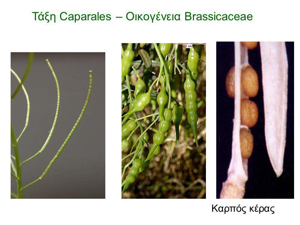Καρπός κέρας Τάξη Caparales – Οικογένεια Brassicaceae