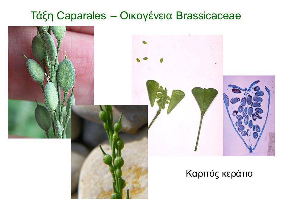 Καρπός κεράτιο Τάξη Caparales – Οικογένεια Brassicaceae
