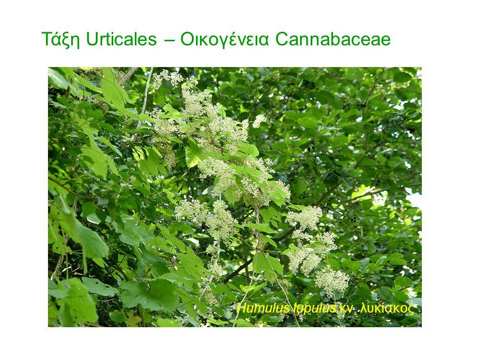 Τάξη Urticales – Οικογένεια Cannabaceae Humulus lupulus κν. λυκίσκος