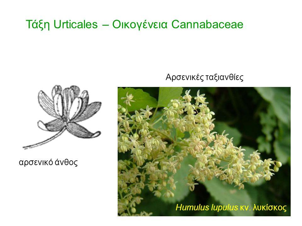Τάξη Urticales – Οικογένεια Cannabaceae Humulus lupulus κν. λυκίσκος αρσενικό άνθος Αρσενικές ταξιανθίες