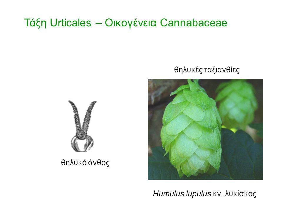 Τάξη Urticales – Οικογένεια Cannabaceae θηλυκό άνθος θηλυκές ταξιανθίες Humulus lupulus κν. λυκίσκος